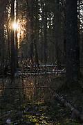Sunlight illuminates a group of grasses in spruce forest in early winter, forests around River Amata, near Skujene, Latvia Ⓒ Davis Ulands | davisulands.com
