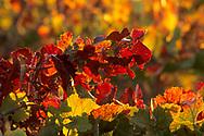 Vineyards in fall, Carneros Region, Napa Valley, Napa County, California