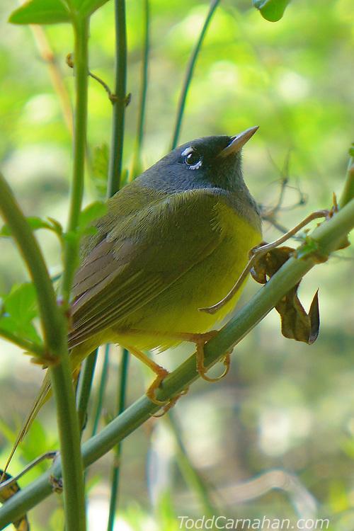 macgiliverays warbler bird