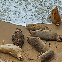 Harbor Seals (Phoca vitulina) rest by the Pacific Ocean on a beach in Fitzgerald Marine Reserve near Moss Beach, California.