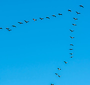 Bird migration. A flock of birds fly in an arrow formation on a blue sky background. Photographed at the Hula Valley, Israel