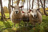 Sheep and goat - Sau og geit