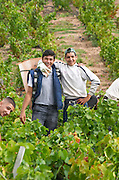Harvest workers picking grapes. Carrying grapes in a basket. Domaine Tracot Dubost, Beaujolais, France