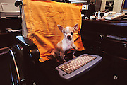 """Sir Arthur C. Clarke in Colombo, Sri Lanka. In Clarke's home office in his wheelchair, his one-eyed Chihuahua, """"Pepsi"""" sits waiting for Clarke to return from his nap. Best known for the book 2001: A Space Odyssey."""