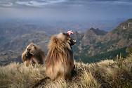 Zwei Dschelada-Bachelors (Theropithecus gelada) an der Abbruchkante vor der Nachtruhe, Simien Nationalpark, Debark, Region Amhara, Äthiopien / <br /> <br /> Two Dschelada bachelors (Theropithecus gelada) at the edge before the night's rest, Simien National Park, Debark, Amhara region, Ethiopia