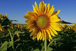 Plantação de girassóis - Nome científico: Chrysantemum Peruvianum Foto: Jefferson Bernardes / Preview.com
