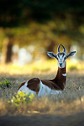 An endangered dama gazelle (Gazella dama). Native range: Morrocco. Captive.