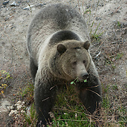 A female grizzly bear (Ursus horribilis) pauses while foraging for plants near the road in Yellowstone National Park.