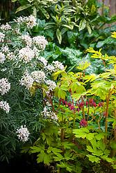 Choisya × dewitteana White Dazzler syn. 'Londaz' AGM - Mexican orange with Dicentra spectabilis 'Gold Heart' syn. Lamprocapnos spectablis