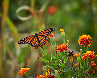 Monarch butterfly feeding on a Marigold flower. Image taken with a Nikon D850 camera and 200-500 mm VR lens.