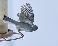 Dark-eyed Junco (Junco hyemalis). Image taken with a Fuji X-T3 camera and 200 mm f/2 lens and 1.4x teleconverter.