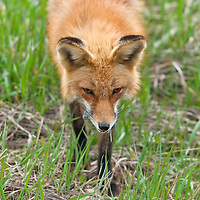 A Red Fox (Vulpes vulpes) feeds on a vole that it just killed, near Eldorado Canyon State Park, Boulder County, Colorado.