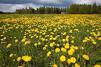 Field of dandelions (Taraxacum sp.) in full flower, Bergslagen, Sweden.