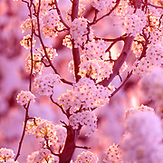 This is an image of cherry blossoms from a Nanking Cherry Tree. The trees are across the street from Folsom High School. In the spring the whole medium of Iron Point Drive (1/4 mile) has these trees in full bloom and all lined perfectly up the hill! Here it is on Google- just not as pretty!: http://g.co/maps/gwd27