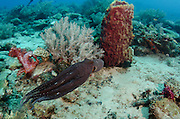 Day Octopus (Octopus cyanea)<br /> Cenderawasih Bay<br /> West Papua<br /> Indonesia