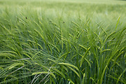 Barley field on agricultural farmland in Shropshire on 6th June 2021 in Ludlow, United Kingdom. Barley, a member of the grass family, is a major cereal grain grown in temperate climates globally. It was one of the first cultivated grains, particularly in Eurasia as early as 10,000 years ago.