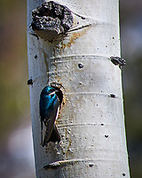 Early springtime Tree Swallow at Lily lake in Rocky Mountain National Park. Image taken with a Nikon D300 camera and 80-400 mm VR lens (ISO 200, 400 mm, f/5.6, 1/1000 sec).
