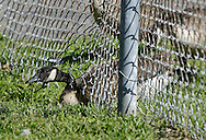 A Canada goose ducks under the fence around the softball field at Fancher-Davidge Park in Middletown on Tuesday, Aug. 6, 2013. Most of the geese flew out of the field, but a few got out under the fence.