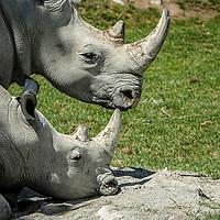 #menageatrois  #zooh #zoo #zoozürich #zoozurich #zoologischergarten #tiere #tier #animals #animals @zoozuerich #lewasavanne #nashorn #rhino #bachstelze #vogel #gross #klein #grossklein #zoobesuch