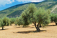 Some of the Olive Trees that cover 55% of Kefalonia, Ionian Islands, Greece. .<br /> <br /> Visit our GREEK HISTORIC PLACES PHOTO COLLECTIONS for more photos to download or buy as wall art prints https://funkystock.photoshelter.com/gallery-collection/Pictures-Images-of-Greece-Photos-of-Greek-Historic-Landmark-Sites/C0000w6e8OkknEb8