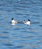 Two Bonaparte's Gulls, Larus philadelphia, swimming on Lake Ewauna, near Klamath Falls, Oregon