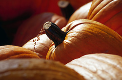 A pumpkin among many with a curly portion of its stem still attached.