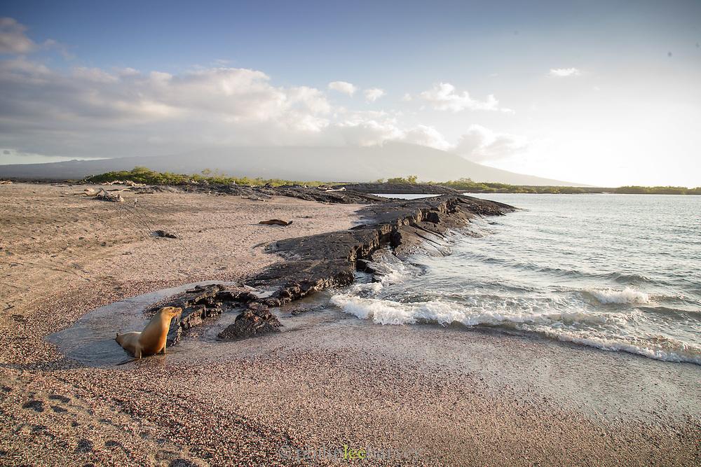 Galapagos Sea Lion (Zalophus wollebaeki) walking on beach, Punta Espinosa, Fernandina Island, Galapagos Islands