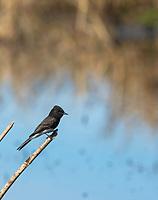 Black Phoebe, Sayornis nigricans, perches beside a pond in Colusa National Wildlife Refuge, California