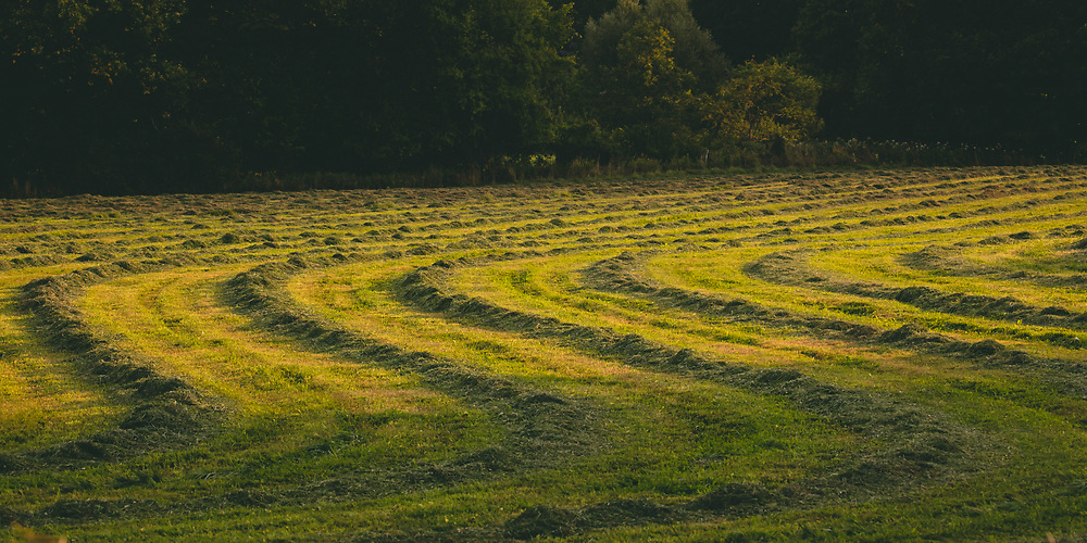 A windrowed hay field shining in morning light within the rural farmlands of Vermont.