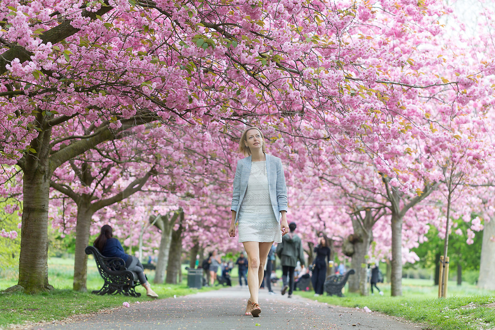 © Licensed to London News Pictures. 23/04/2017. Greenwich, UK. Elizabeth Cooper from south east London pictured enjoying the popular avenue of cherry blossom in Greenwich Park which is now in bloom. Photo credit : Rob Powell/LNP
