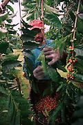 Coffee farm, Kona, Island of Hawaii (editorial use only )<br />