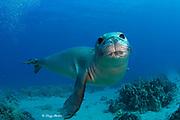 Hawaiian monk seal, Neomonachus schauinslandi, yearling female ( critically endangered species ), Mahukona, Kohala, Hawaii Island ( the Big Island ) Hawaiian Islands ( Central Pacific Ocean )