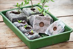 Seedlings and jiffy plugs in seed tray