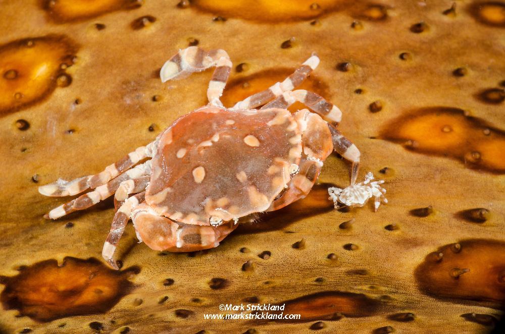 A pair of Sea Cucumber Swimming Crabs, Lissocarcinus orbicularis, perch upon their sea cucumber host. Fiji, Pacific Ocean