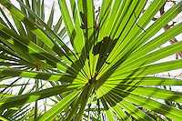 Guana River State Park, Florida -- Leaves of the Serenoa repens, the saw palmetto, a palm like plant that grows in clumps or dense thickets in sandy coastal lands. It is extremely slow growing, and long lived, with some plants, especially in Florida, possibly being as old as 500-700 years[