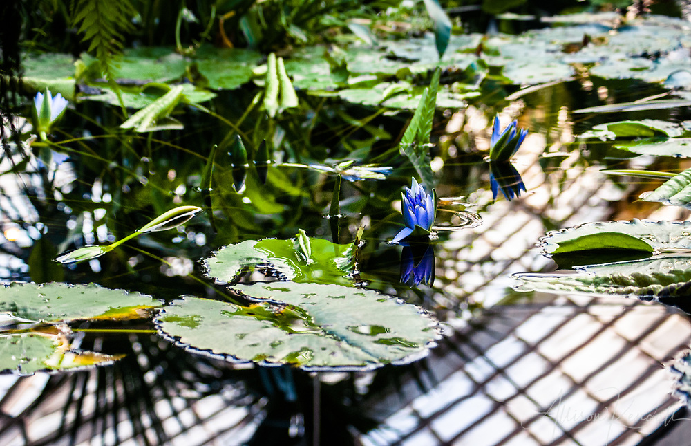 Reflections on a lily pond in the Conservatory of Flowers in San Francisco, California
