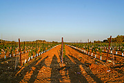 Young grape vines in a vineyard Photographed in Israel