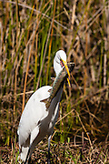 Great Egret with a colossal sized breakfast among the tules at Lake Murray.