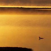 Pacific Loon, (Gavia arctica) Arctic National Wildlife Refuge. ANWR. Alaska.