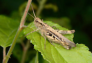 Close-up of a Common field grasshopper (Chorthippus brunneus) resting on a leaf in a open woodland habitat in Norfolk