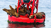 California sea lions on buoy, Ventura Harbor, Ventura, California USA