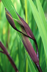 The purple bloom on the fresh spring growth of Iris 'Gerald Darby'
