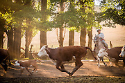 Gaucho herds Hereford cattle, Estancia Huechahue, Patagonia, Argentina, South America