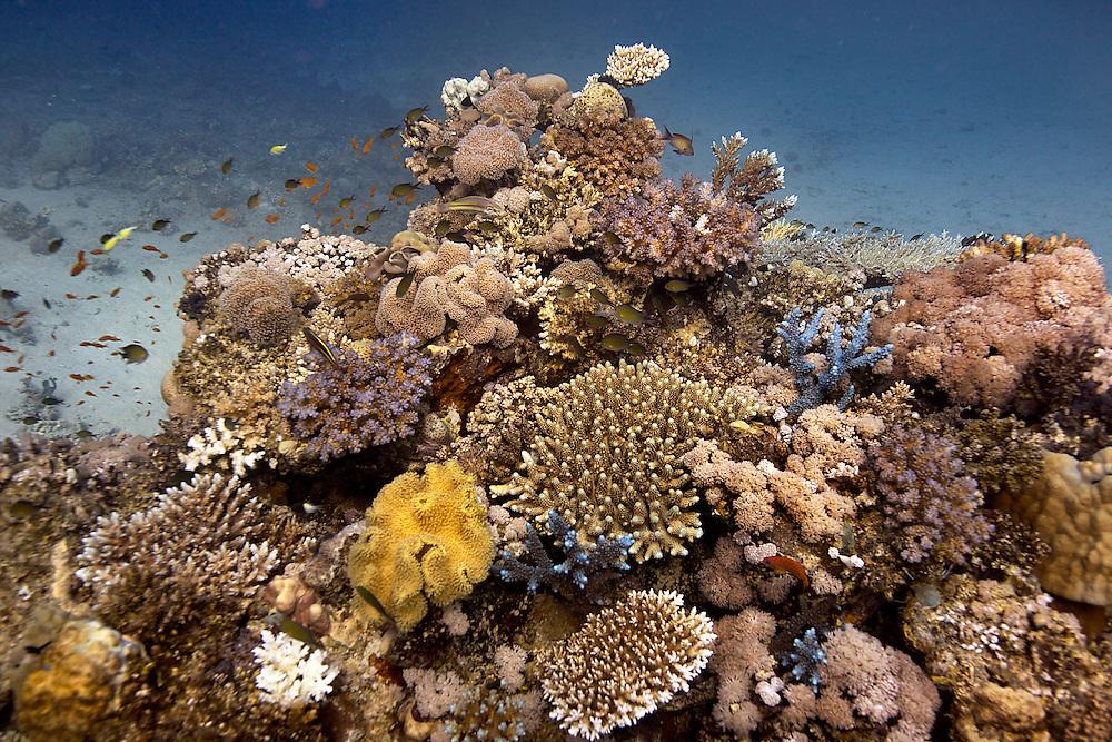 20/April/2013 Saudi Arabia. Jeddah.Marine Science research at Al-Fahal reef. Red Sea..©JOAN COSTA.