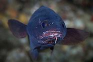 Lotella rhacinus  (Rock Cod)