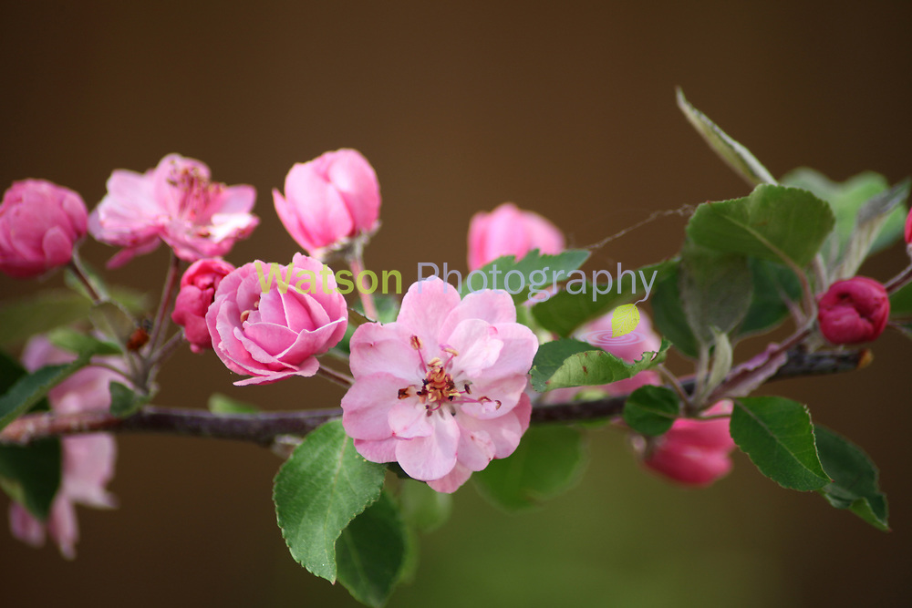 Apple Blossoms of Spring