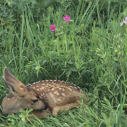 Mule Deer, (Odocoileus hemionus) Fawn lying in spring grass and flowers. Montana.