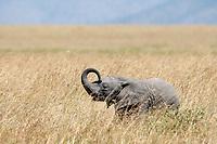 African Elephant calf, Loxodonta africana, in Serengeti National Park, Tanzania