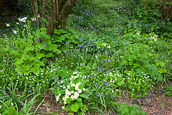 Primroses, woodruff and bluebells in the woodland garden. Primula vulgaris