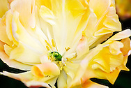 Double Early Tulip 'Peach Melba' Keukenhof Spring Tulip Gardens, Lisse, The Netherlands.